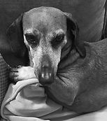 Headshot of Bob the daschund looking handsome, KIR security