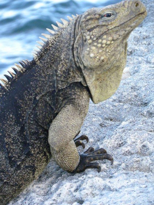 Cuban Iguana