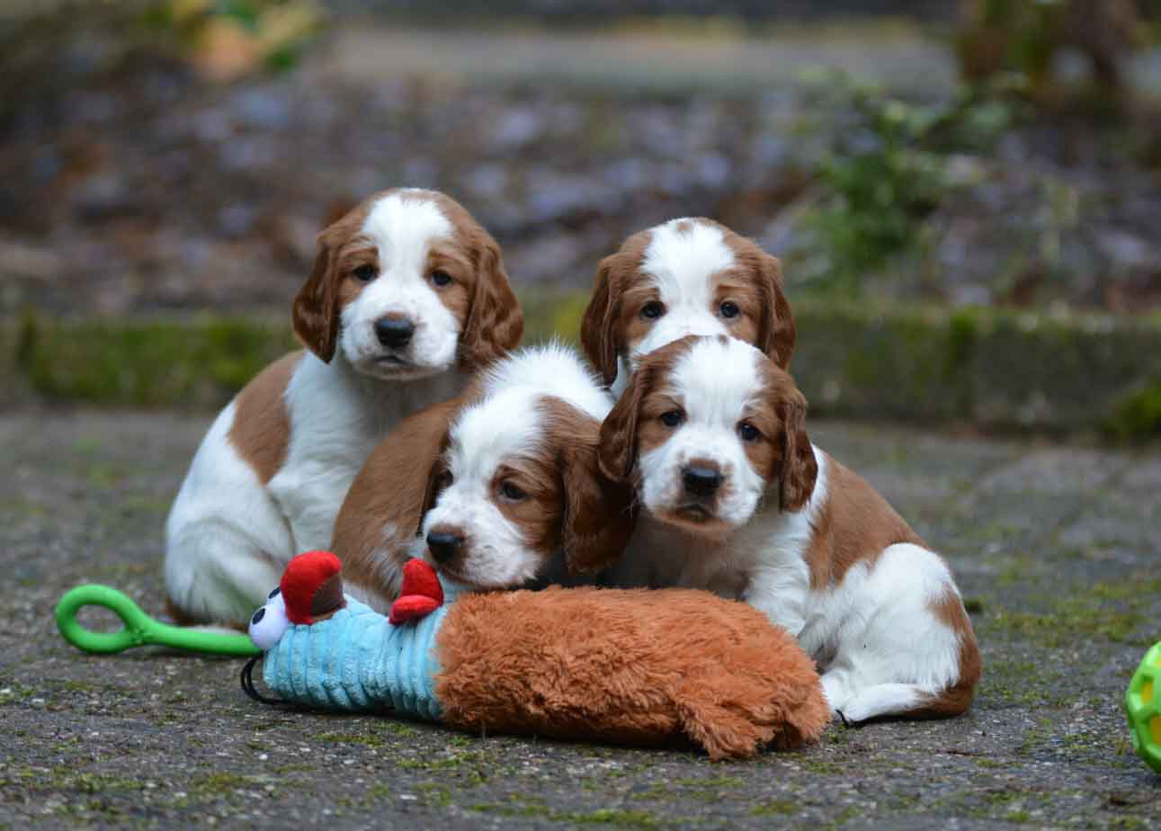 Puppies of Welsh Springer Spaniel