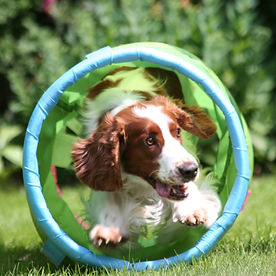 Welsh Springer Spaniel running through tunnel - Agility