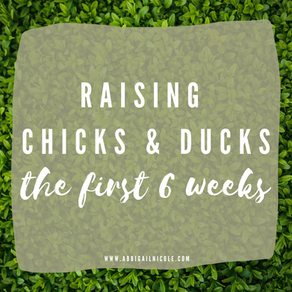 Raising Chicks & Ducklings   The First 6 Weeks