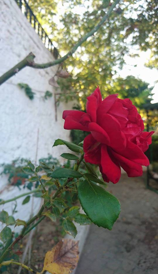 Davutlar Hamamı Rose