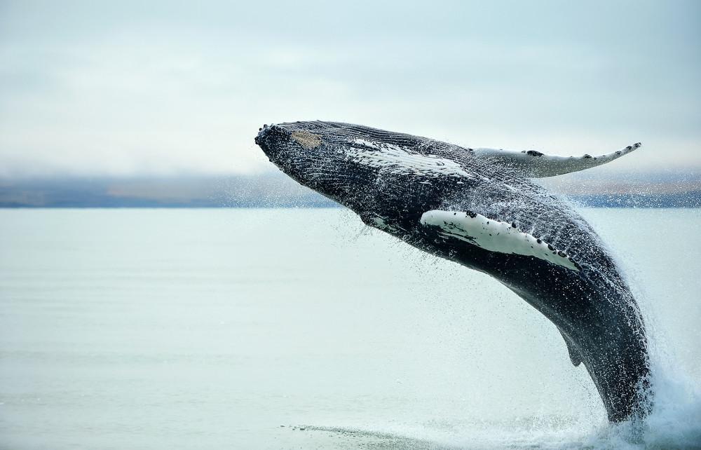 Observer les baleines en Islande en été -Guide de vos vacances en Islande