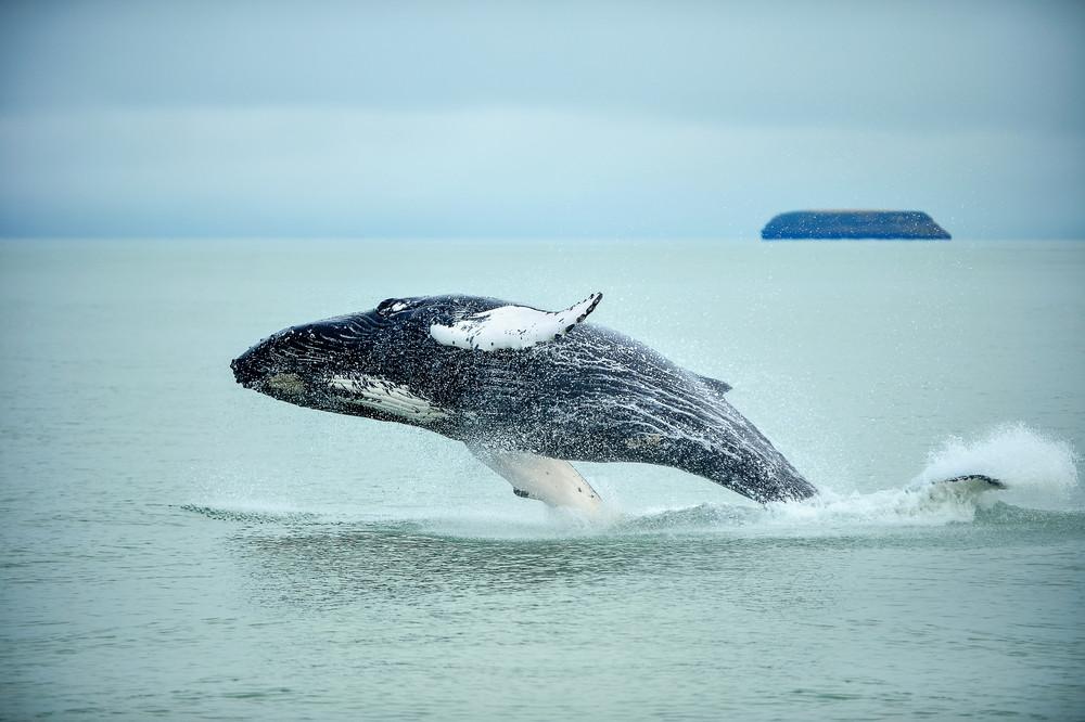 Observation des baleines à Húsavík dans le nord de l'Islande