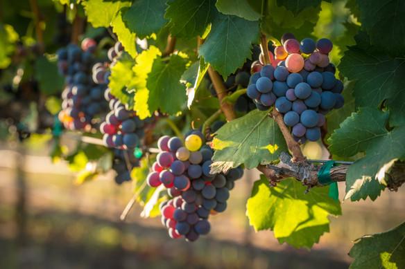 NAPA grapes.jpg