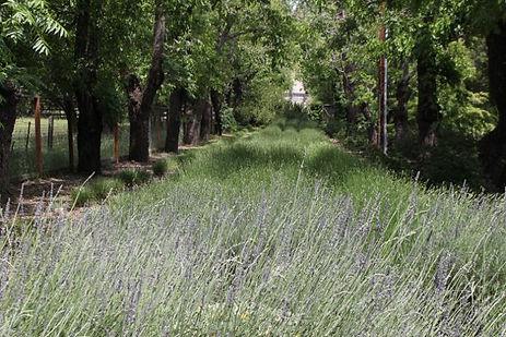 Lavender crop planting at Woodside Estate.