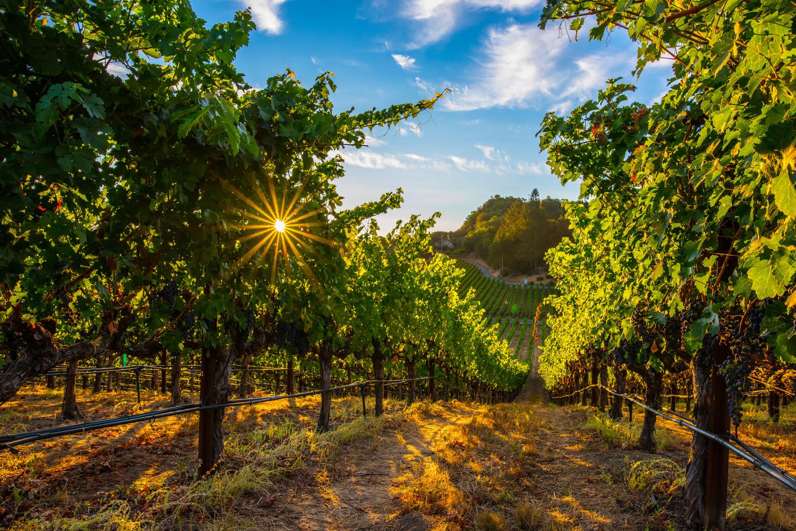 NAPA sunny vineyards.jpg