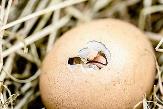 egg-chick.jpg