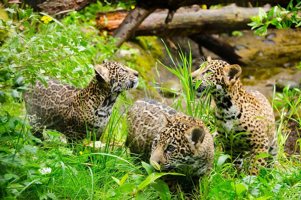 Three Jaguar Cubs