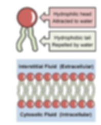 phospholipid.jpg