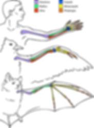homology_bat_human-bird.jpg