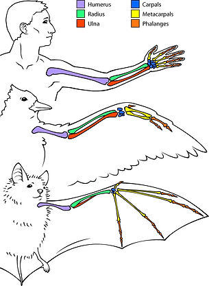 homology_bat_human-bird.jpg