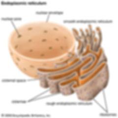 endoplasmic-reticulum.jpg
