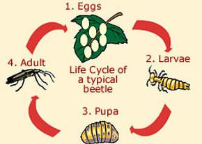 Typical beetle life cycle. Image Source: Animal Corner