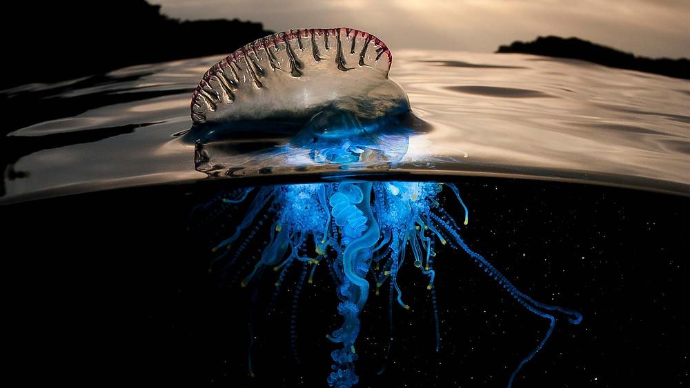 Blue bottle jelly - Image Source: BBC & NatGeo