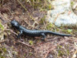 salamander-newt.jpg