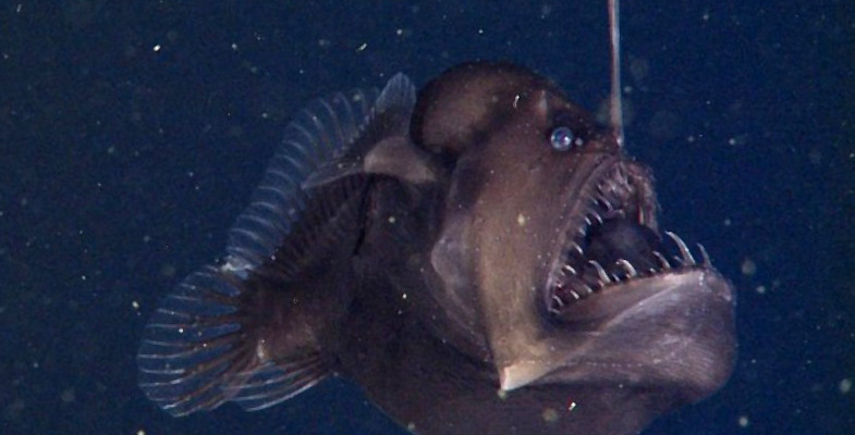 Deep-sea Anglerfish Melanocoetus sp