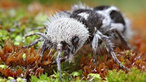 The Panda Ant (Euspinolia militaris)