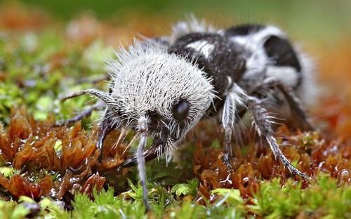 Panda Ant - Image Courtesy: Christian Lukhaup