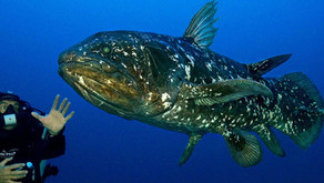 The Coelacanth (Coelacanthiformes)