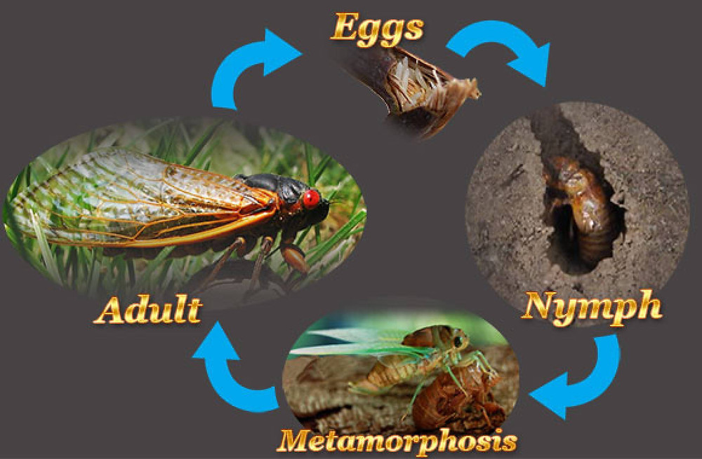 Cicada lifecycle: From: https://thehouseholdpests.org/cicada-life-cycle.html