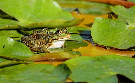 amphibian-frog.jpg