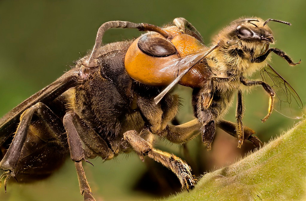 Japanese-Giant-Hornet-killing-honey-bee