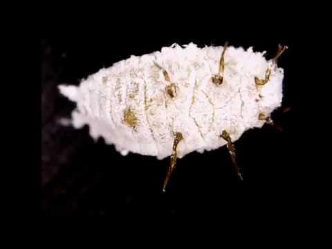 Cochineal under microscope: Image source: Daniel Omine