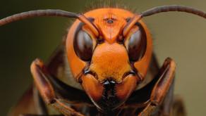 The Asian Giant Hornet (Vespa mandarinia)