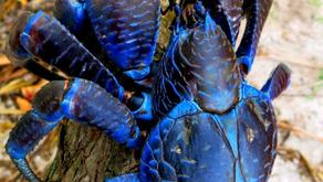 The Coconut Crab (Birgus latro)