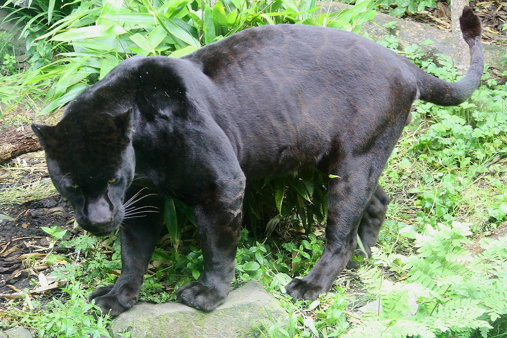 Black Panther – Image Source Wikipedia