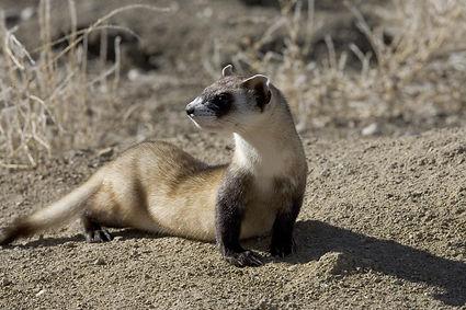 black-footed-ferret.jpg