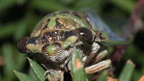 Cicadas (Family Cicadidae)