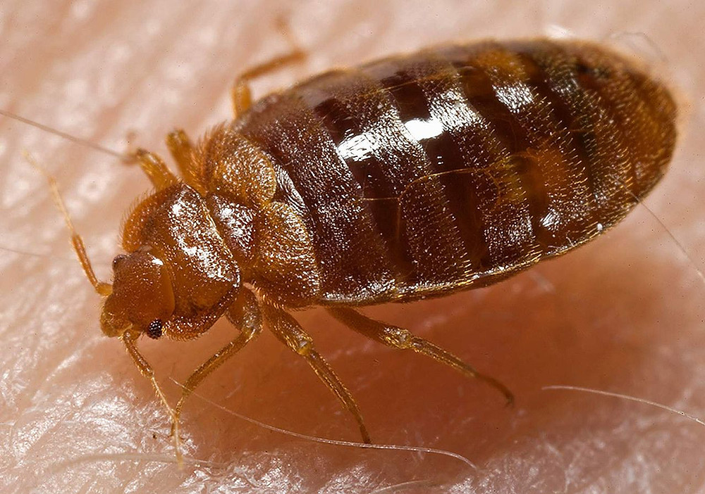Bed Bug (Cimex_lectularius). Image Source - Wikipedia