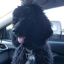 Aphrodite finally loves car rides #puppy