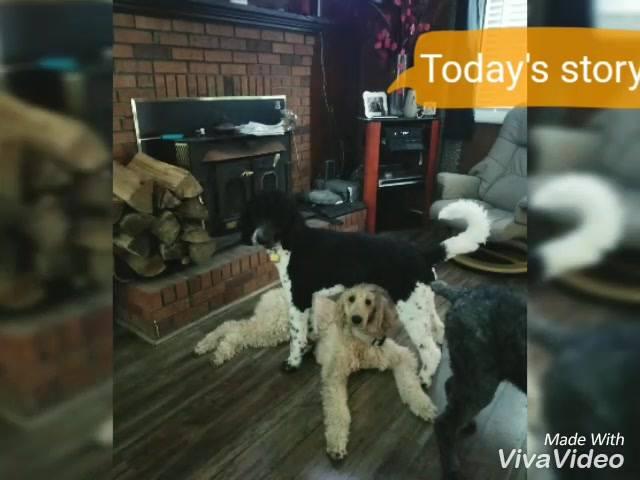 A & A Standard Poodles
