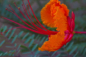 4639 Mexican Bird of Paradise
