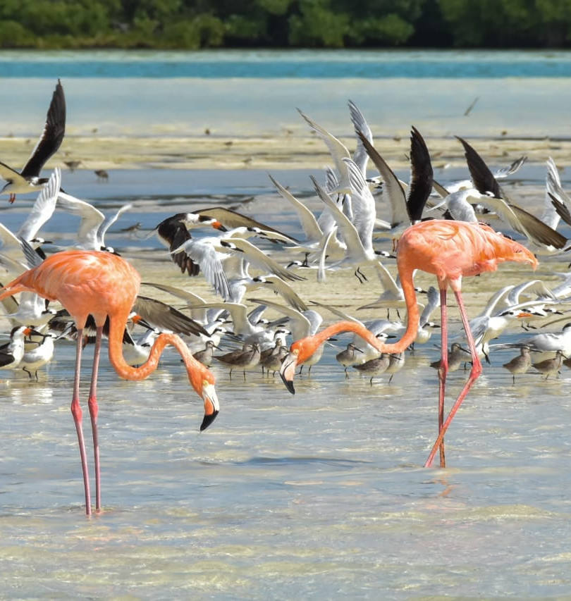 FLAMANTS ROSES HOLBOX