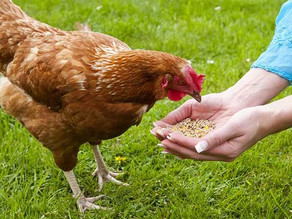 WHICH CAME FIRST, THE CHICKEN OR THE FEED?