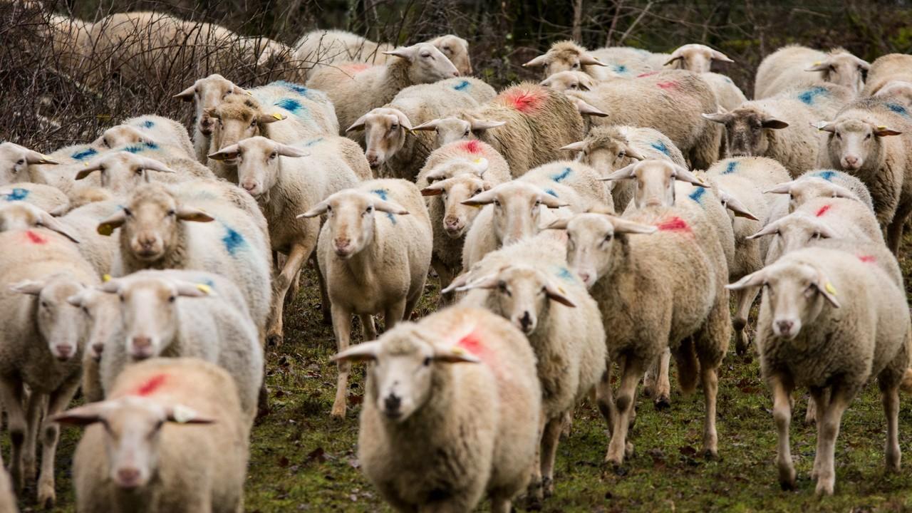 agnelles et brebis BMC