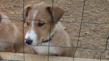 Chiot border collie a vendre