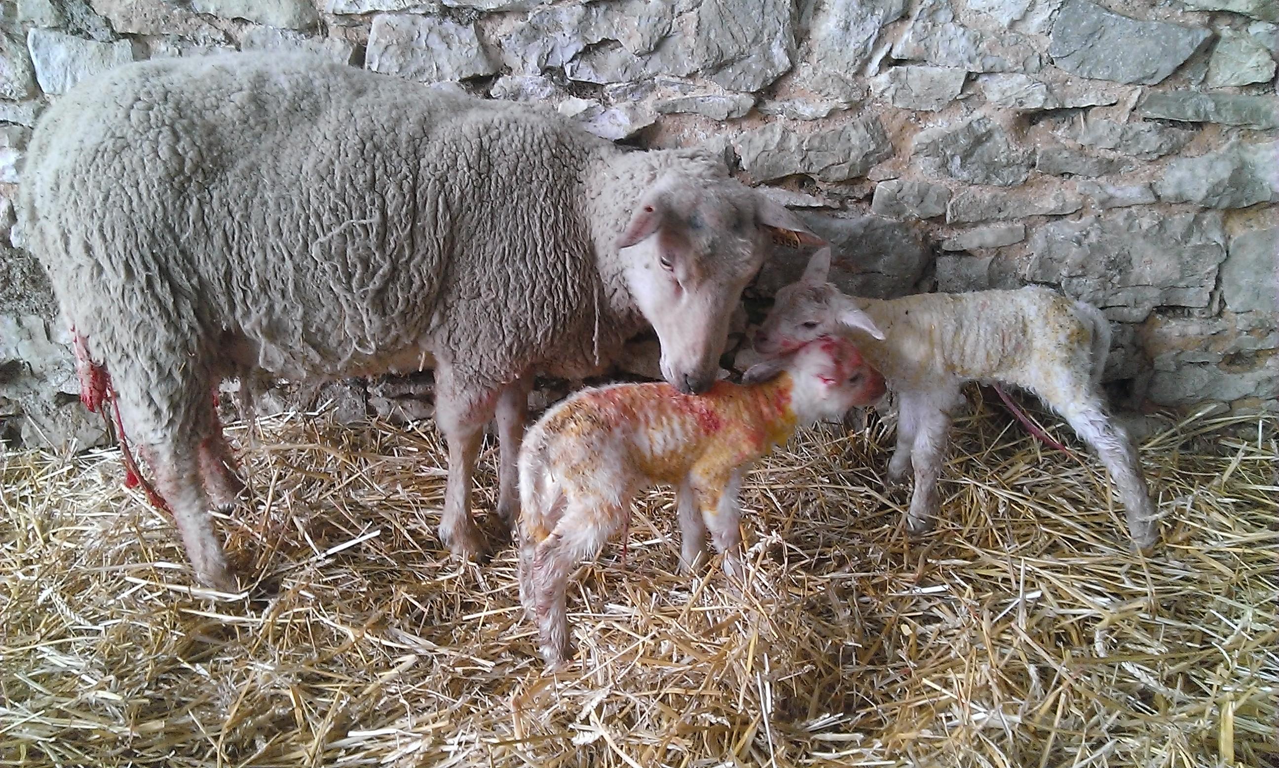 charollaise et ses 2 agneaux
