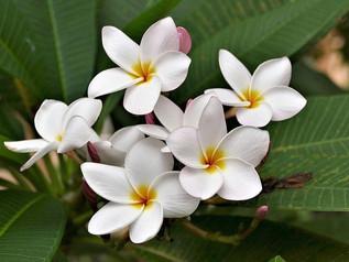 Frangipani: Purnama Signature Fragrance