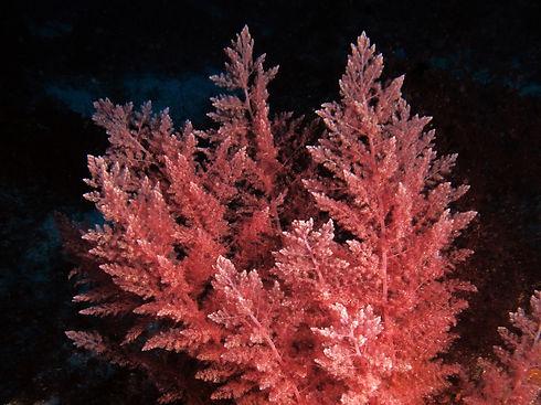 Asparagopsis-taxiformis-Red-Algae_1.jpg