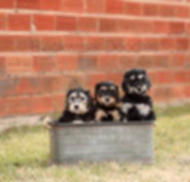 blackwaterdoodlesphantompups.jpg