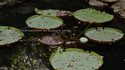 waterleaves.jpg