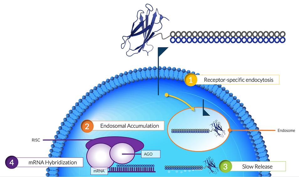 Centyrin-siRNA Conjugate Mechanism of Ac
