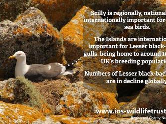 Five seabird species decline 20% on Scilly