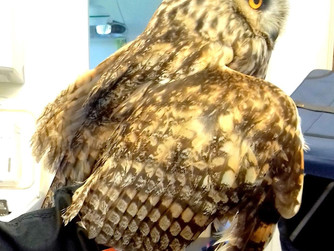 Owl injured on Bryher dies in Newquay sanctuary