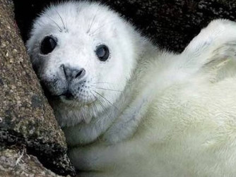 Scilly 'an important breeding area for seals'